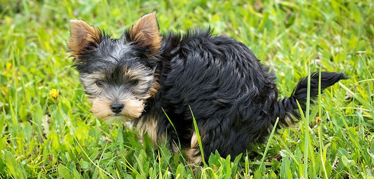Housebreaking Your Puppy in Six Easy Steps