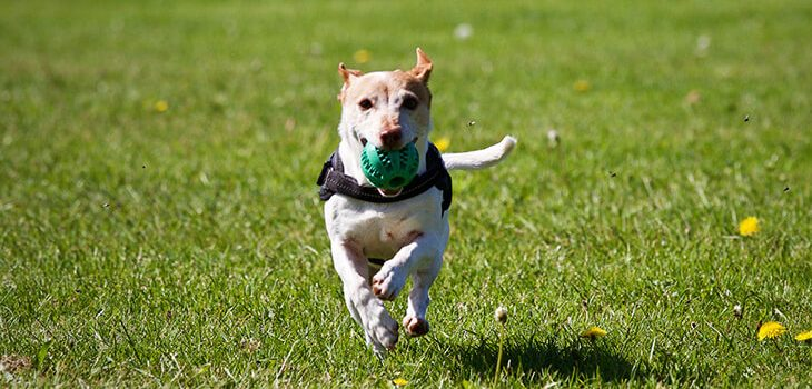 6 Steps to Teaching Your Dog the Game of Fetch