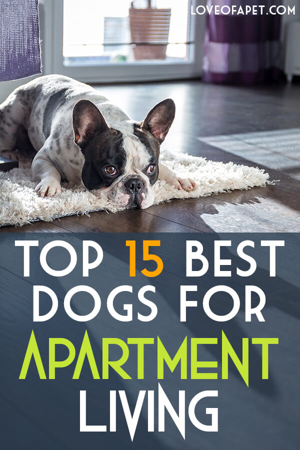 Top 15 Best Dogs For Apartment Living