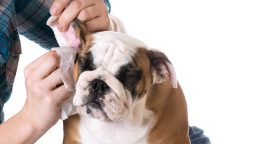 How to Clean Dog's Ears at Home: 5 Steps