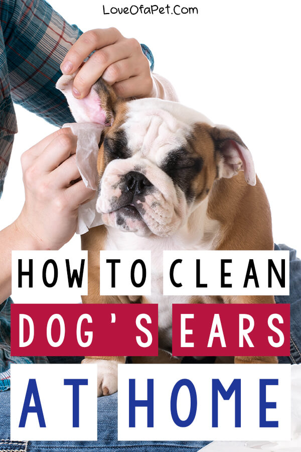 Step-By-Step on How to Clean Your Dog's Ears