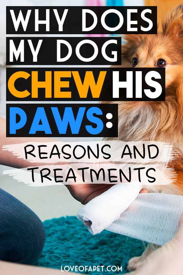 6 Reasons Why Your Dog Chewing His Paws and What to Do
