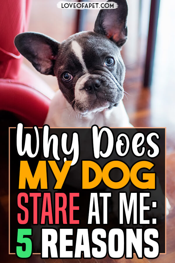 5 Reasons Why Your Dog Stares at You