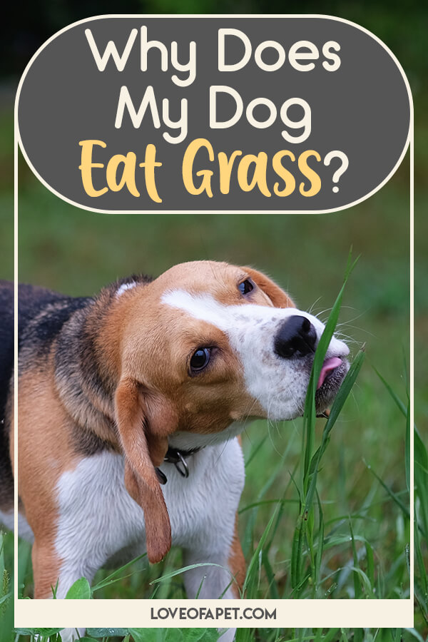 Should I Stop My Dog from Eating Grass and How