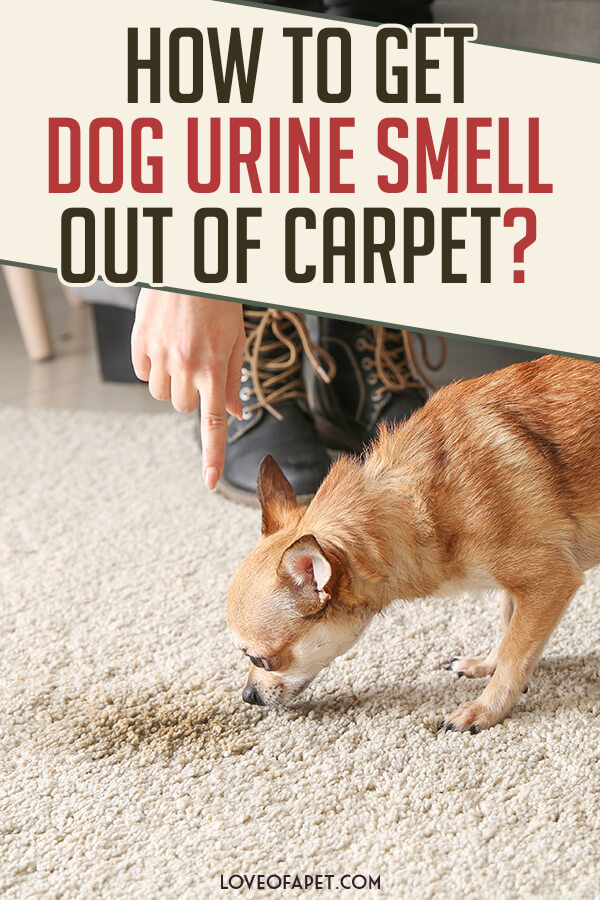 Best Solutions To Get Rid Of Dog Urine Smell From Carpet