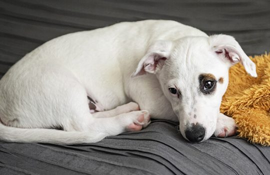 How to Stop Your Dog from Whining?
