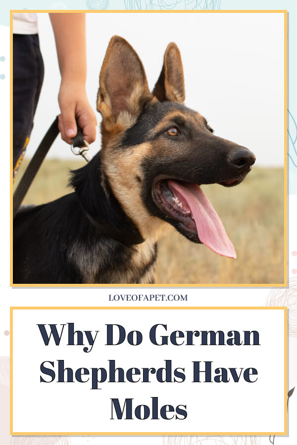 Why Do German Shepherds Have a Black Spot on Their Face?